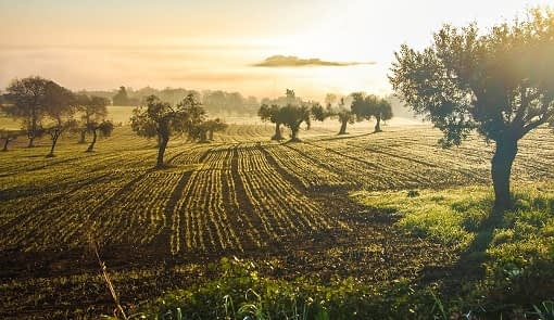 Italian olive groves in the sunset